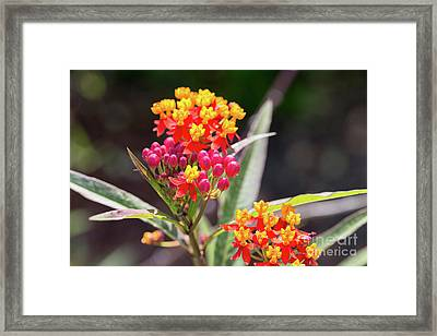 Milkweed Silky Deep Red Framed Print by Louise Heusinkveld