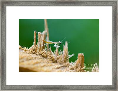 Millimetric Mantis Framed Print by Cesar Marino