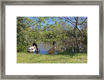 Millpond Ducks Hayle Framed Print by Terri Waters