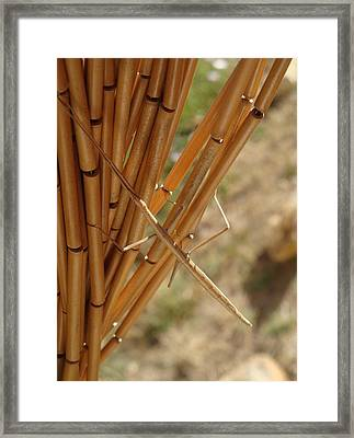 Mimicry Twiggy  Framed Print by Cathy MONNIER