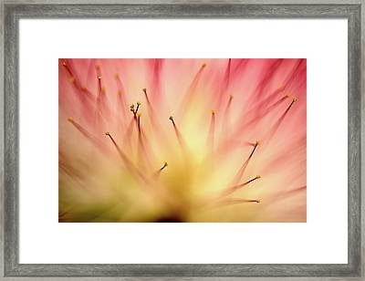 Mimosa 4 Framed Print