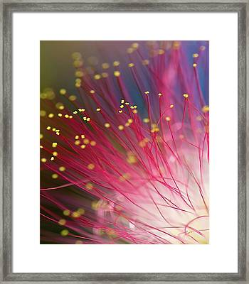 Mimosa Bloom Framed Print by Dan Wells