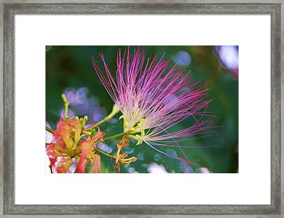 Mimosa Fairy Framed Print by Beverly Hammond