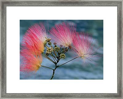 Mimosa Framed Print by Farol Tomson