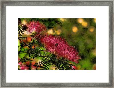 Mimosa Flowers Framed Print by HH Photography of Florida