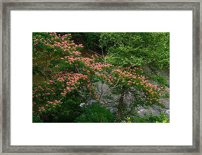 Mimosa On The Dan River Framed Print