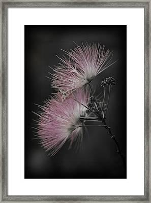 Mimosa Framed Print