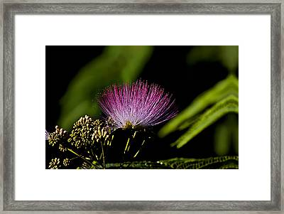 Mimosa Tree Bloom Framed Print by Michael Whitaker