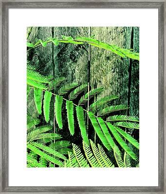 Mimosa Tree  II Framed Print by Tony Grider