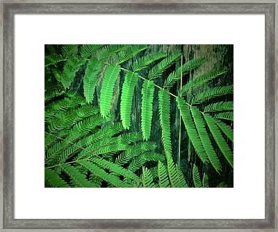 Mimosa Tree Framed Print by Tony Grider