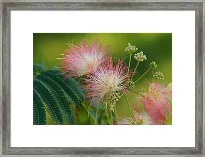 Mimosa  Up Close Framed Print by Bj Hodges