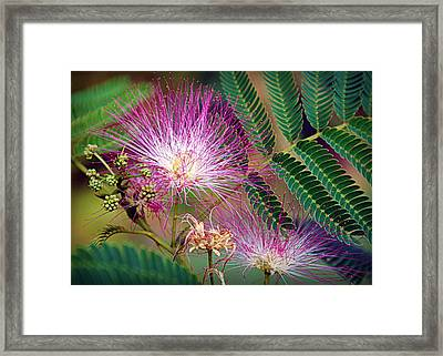 Mimosa's First Blooms Framed Print by Cricket Hackmann