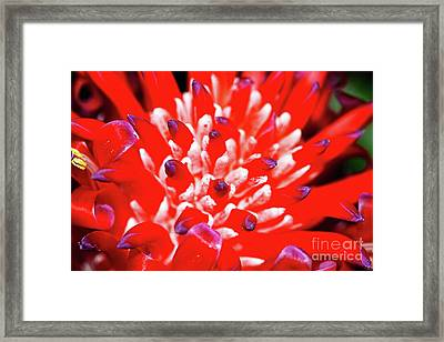 Framed Print featuring the photograph Flaming Torch Bromeliad By Kaye Menner by Kaye Menner