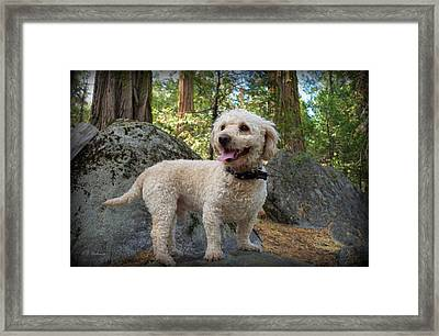 Mini Poodle Framed Print
