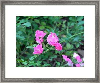 Mini Roses Framed Print by John Parry