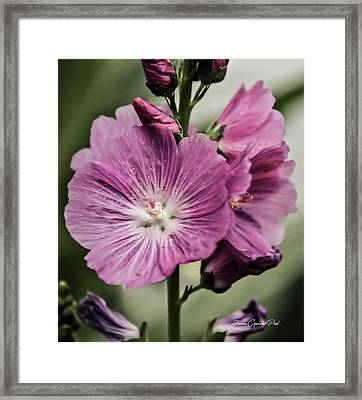Miniature Pink Hollyhock Flowers Framed Print