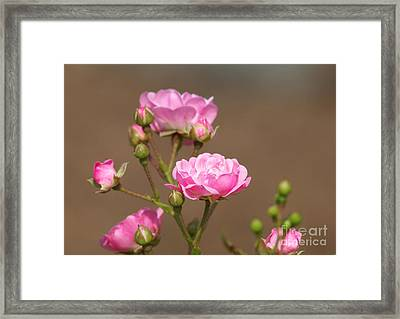 Miniature Pink Roses Framed Print by Sharon Talson