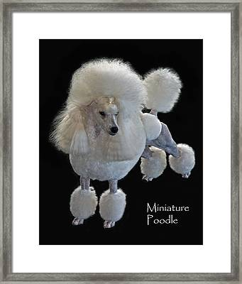 Miniature Poodle Framed Print by Larry Linton