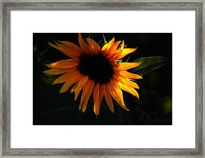 Miniature Sunflower Framed Print by Martin Morehead