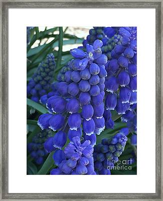 Miniture Grape Hyacinths Framed Print