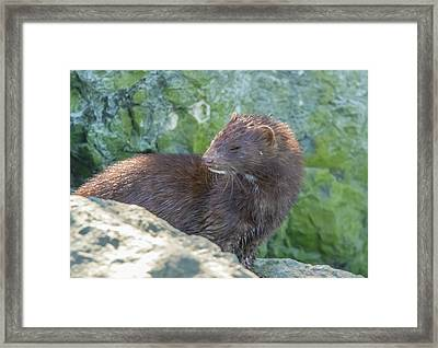 Mink Profile Framed Print by Marc Crumpler