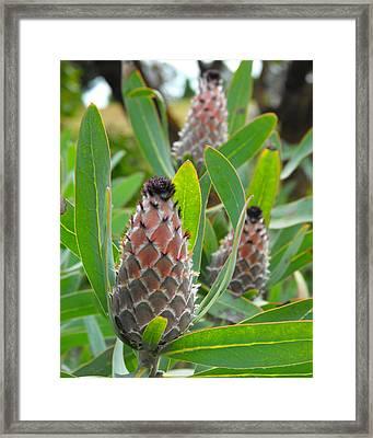 Mink Protea Flower Framed Print by Rebecca Margraf
