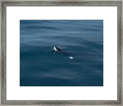 Minke Whale At Play Framed Print by Patrice Hatcher