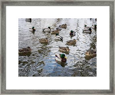 Minnesota Ducks Framed Print