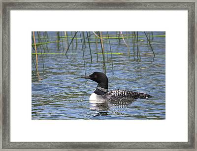 Framed Print featuring the photograph Minnesota State Bird by Penny Meyers
