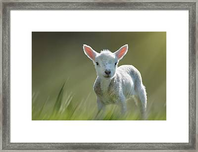 Minnie The Spring Lamb Framed Print