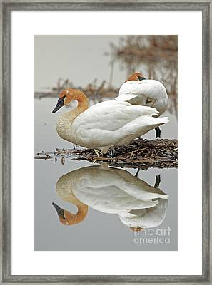 Mirror Image Of Swan Beauties Framed Print by Natural Focal Point Photography
