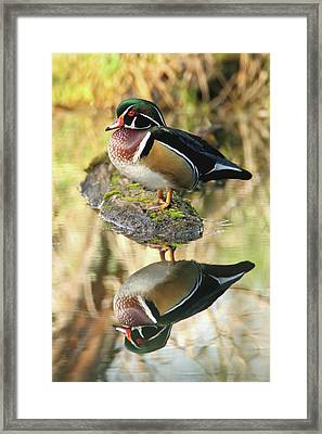Mirrored Wood Duck Framed Print