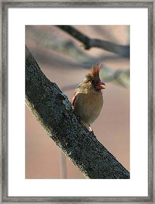Miss Cardinal Framed Print
