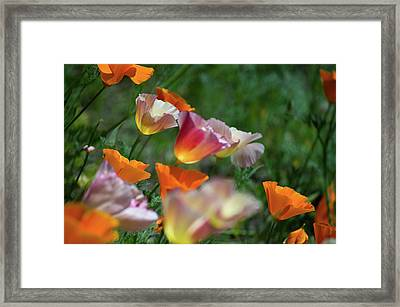 Mission Bell Poppies Framed Print