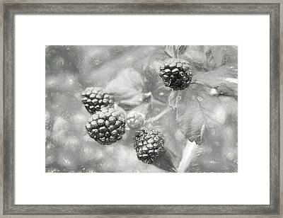 Mississippi Blackberries In Black And White Framed Print by JC Findley