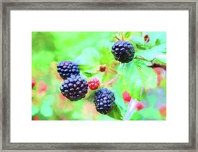 Mississippi Blackberries Framed Print by JC Findley
