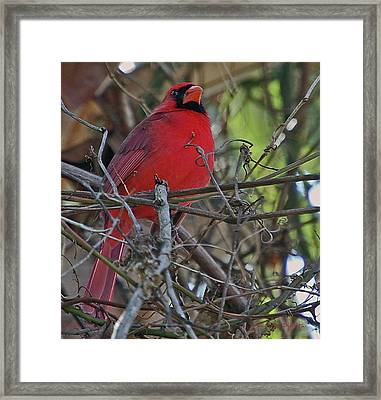 Mister Cardinal Framed Print by DigiArt Diaries by Vicky B Fuller