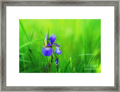 Misty Iris Framed Print