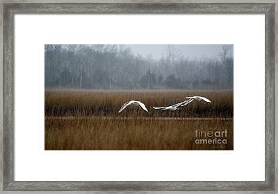 Misty Mute Swans Soaring South Jersey Wetlands Framed Print by Diana Wind