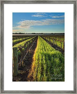 Misty Vineyard Morning Framed Print
