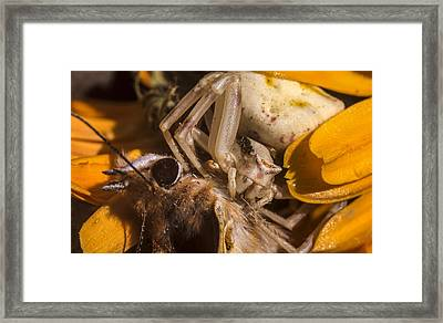 Misumena Vatia Eating A Butterfly After Hunting Framed Print by Guido Montanes Castillo