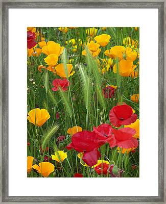 Mixed Poppies Framed Print by Gene Ritchhart