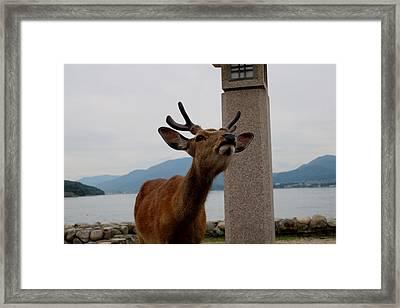 Miyajima Deer Framed Print