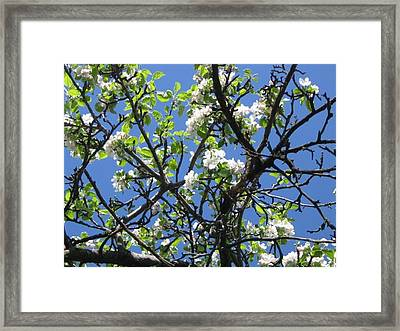Mn Apple Blossoms Framed Print by Barbara Yearty