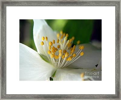 Mock Orange #2 Framed Print by Marcia Lee Jones