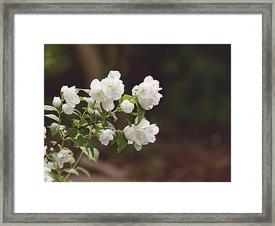 Framed Print featuring the photograph Mock Orange Blossoms by Kim Hojnacki
