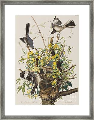 Mocking Bird  Framed Print by John James Audubon