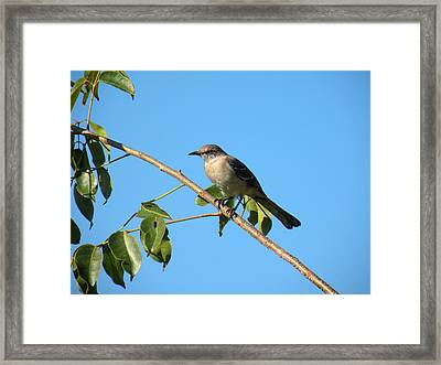 Mocking Bird Out On A Limb Framed Print by Rosalie Scanlon