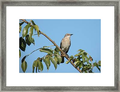 Framed Print featuring the photograph Mocking Bird by Rosalie Scanlon