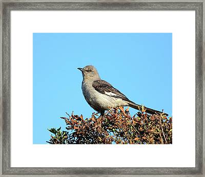 Mockingbird . 7682 Framed Print by Wingsdomain Art and Photography